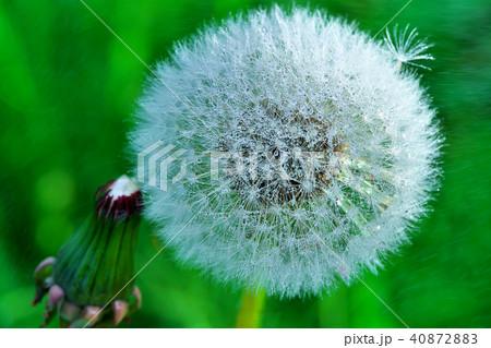 タンポポの綿毛(わたげ)と宝石のような水滴写真 40872883