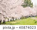 桜 桜並木 花の写真 40874023