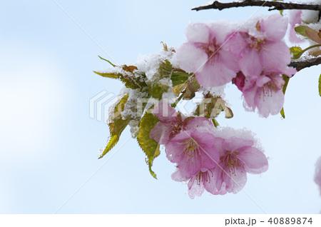 雪の日の河津桜の花 40889874