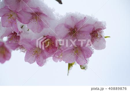 雪の日の河津桜の花 40889876