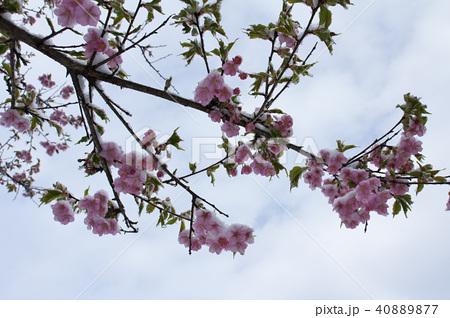 雪の日の河津桜の花 40889877