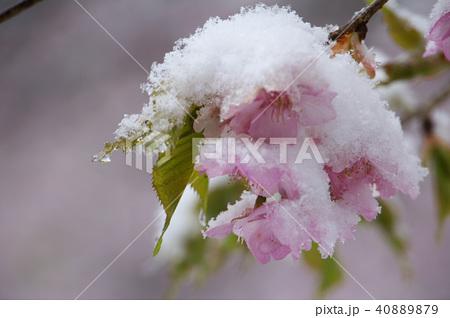 雪の日の河津桜の花 40889879