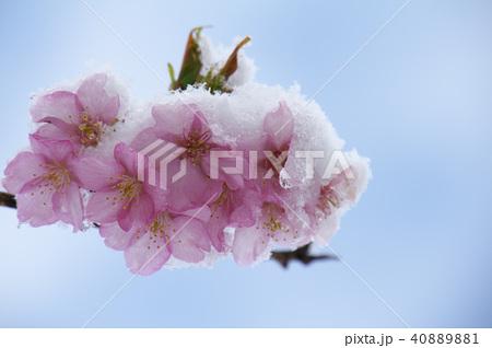 雪の日の河津桜の花 40889881