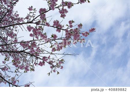 雪の日の河津桜の花 40889882