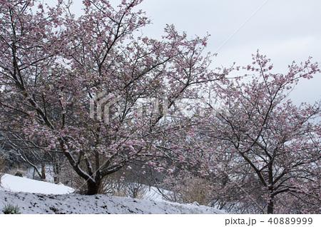 雪の日の河津桜 40889999