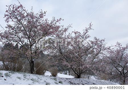 雪の日の河津桜 40890001