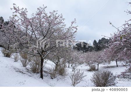 雪の日の河津桜 40890003