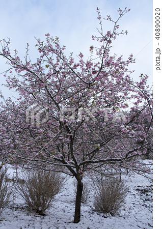 雪の日の河津桜 40890020