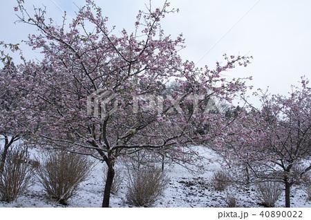 雪の日の河津桜 40890022