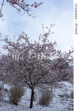 雪の日の河津桜 40890024