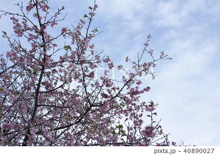 雪の日の河津桜 40890027