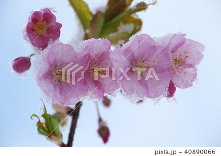 雪の日の河津桜の花 40890066