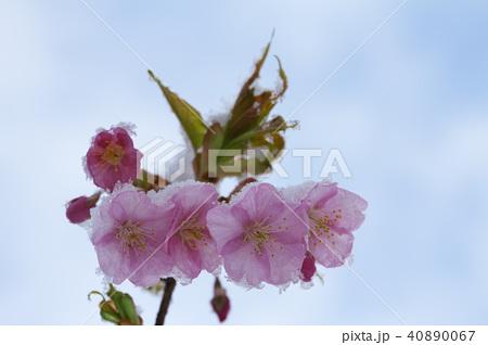 雪の日の河津桜の花 40890067