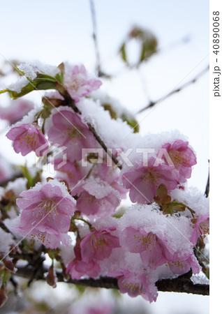 雪の日の河津桜の花 40890068