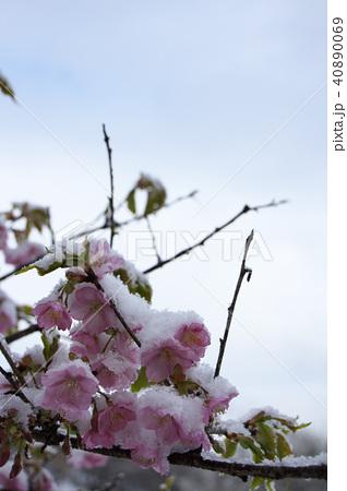 雪の日の河津桜の花 40890069