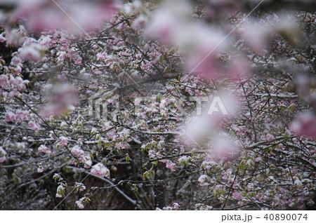 雪の日の河津桜の花 40890074