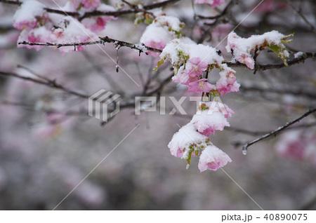 雪の日の河津桜の花 40890075