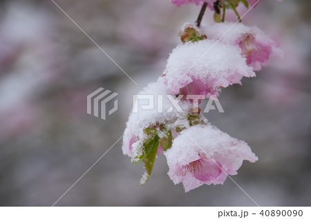 雪の日の河津桜の花 40890090