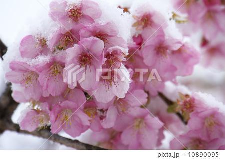 雪の日の河津桜の花 40890095