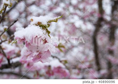 雪の日の河津桜の花 40890096