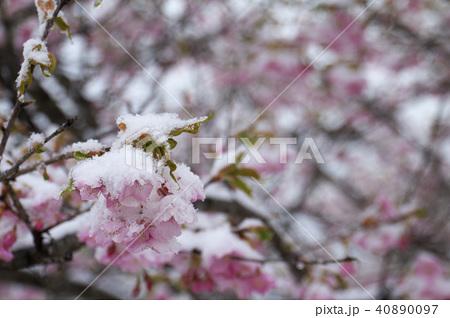 雪の日の河津桜の花 40890097