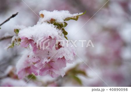 雪の日の河津桜の花 40890098