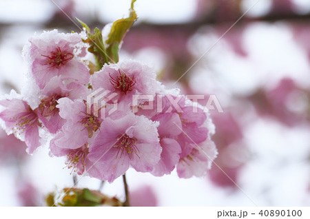 雪の日の河津桜の花 40890100