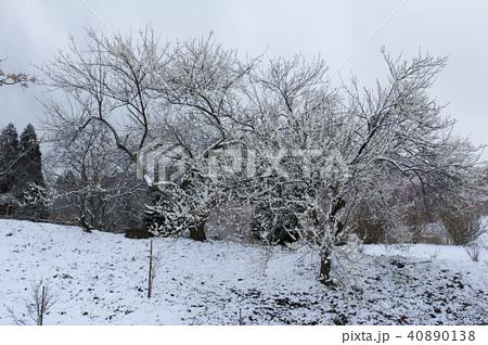 雪の日の白梅 40890138