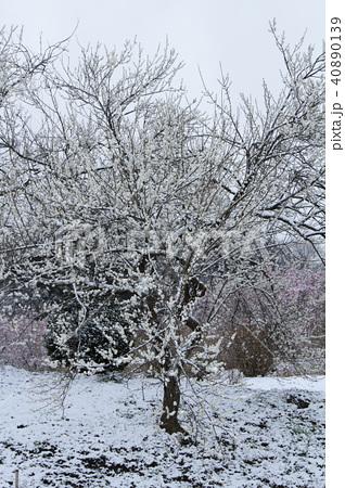 雪の日の白梅 40890139