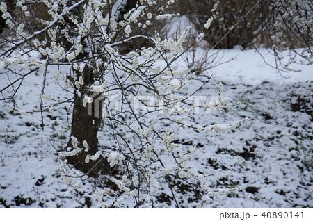 雪の日の白梅 40890141