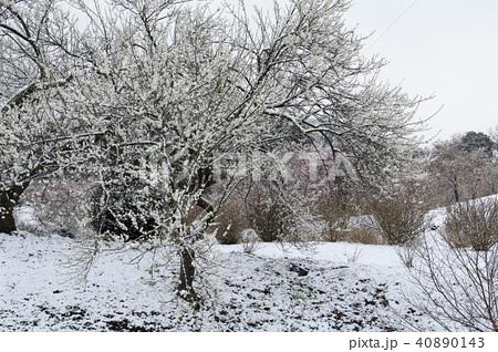 雪の日の白梅 40890143