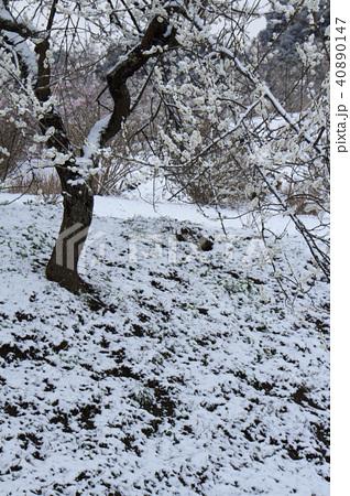 雪の日の白梅 40890147