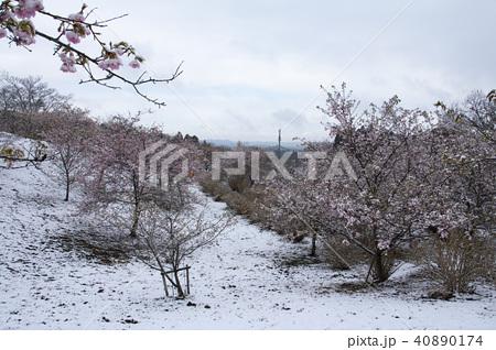 雪の日の河津桜 40890174