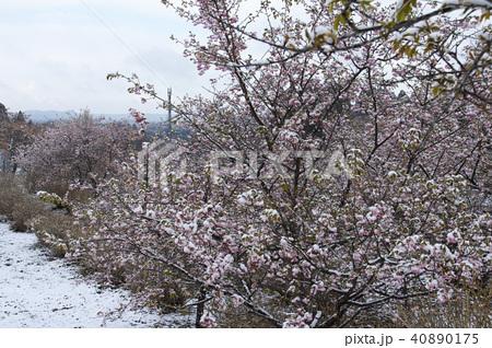 雪の日の河津桜 40890175