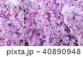 花 お花 フラワーの写真 40890948
