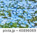 ネモフィラ 瑠璃唐草 花畑の写真 40896069