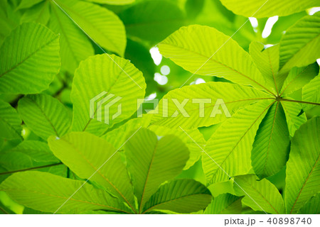 新緑の木の葉 40898740