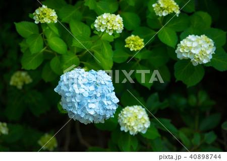 庭園の紫陽花 40898744