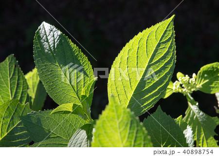 新緑の葉 40898754