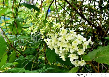 カシワバアジサイ(柏葉紫陽花) 40899363