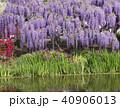池と満開の藤の花 40906013