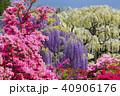 春の庭園藤とツツジ 40906176