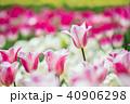 白とピンクのチュウリップアップ 40906298