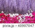 春の庭園藤とツツジ 40907047