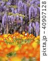 藤の花とポピー 40907128