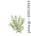 植物 ローズマリー ハーブのイラスト 40913943