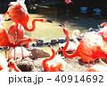 フラミンゴ 鳥 水辺の写真 40914692
