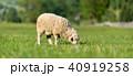 ひつじ ヒツジ 羊の写真 40919258