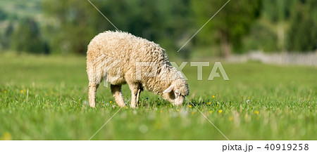 Sheep in a meadow in the mountains 40919258