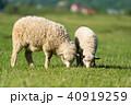 ひつじ ヒツジ 羊の写真 40919259